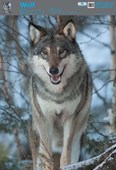 The Wolf Wildlife Fun Facts