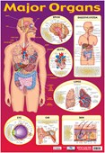 Find Your Way Around the Human Body! Major Organs of The Body