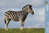 Wild Zebra Facts Zebra