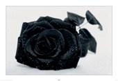 Gothic Rose Black Rose