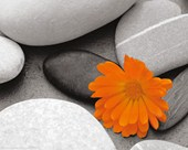 Marigold and Pebbles Bright Flower amongst Stones