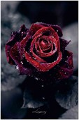 Luxury Rose Dew Covered Flower