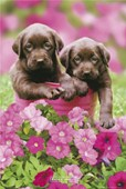 Chocolate Puppies Keith Kimberlin