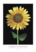 Sunflower Harold Feinstein