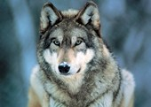 Grey Wolf Animal Photography
