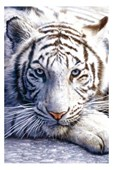 Blue Eyes White Fur Tiger