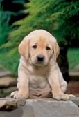 A Cute, Sad Looking Labrador Puppy Labrador Puppy