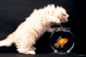 Happy Fishing - Cat and Goldfish By Keith Kimberlin
