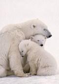 Polar Bear Family Polar Bears