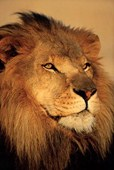 Close-up of a Lion African Wildlife Photography