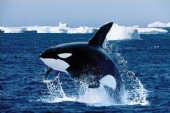 Orca Leap Killer Whale Photography