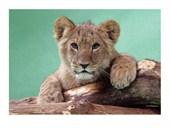 Lion Cub John Daniels