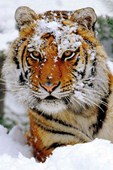 Siberian Snow Snow Covered Siberian Tiger