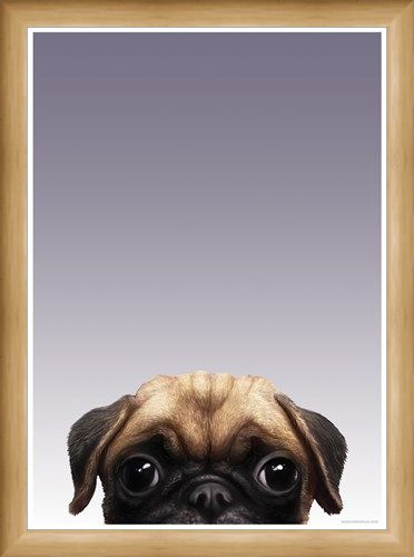 Framed Framed Pug - Inquisitive Creatures