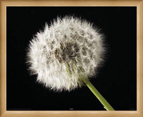 Framed Framed Dandelion - Macro Photography