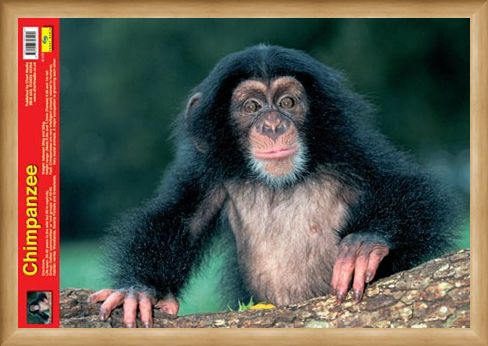 Framed Framed Animal World - Chimpanzee