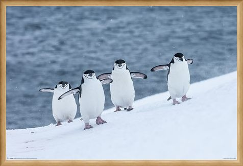 Framed Framed Waddle This Way - Chinstrap Penguins
