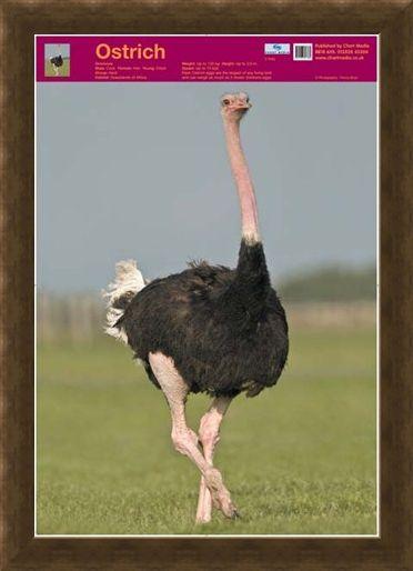 Framed Framed Ostrich - Wildlife Fun Facts