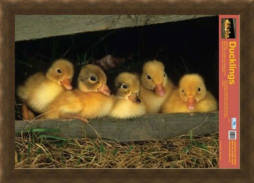 Framed Framed Fluffy Friends - All About Ducklings