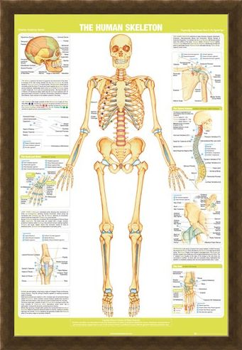 Framed Framed Skeleton - Chartex Anatomy