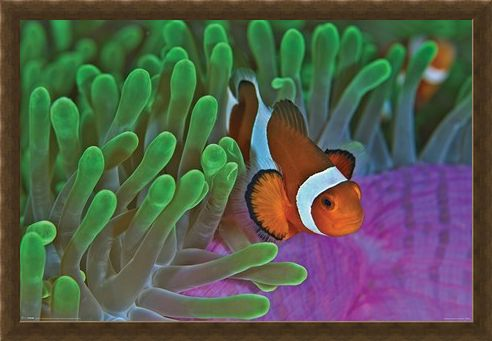 Framed Framed Life In The Reef - Clownfish & Anemones