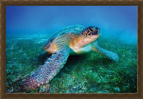 Framed Framed Loggerhead Sea Turtle - Animal
