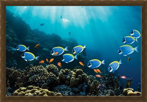 Framed Framed Tropical Waters - Surgeonfish & Goldies