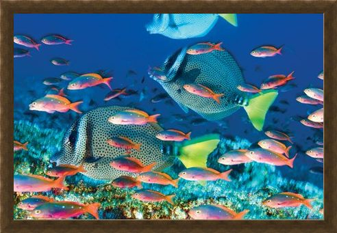 Framed Framed Yellow-Tailed Surgeonfish - Sealife