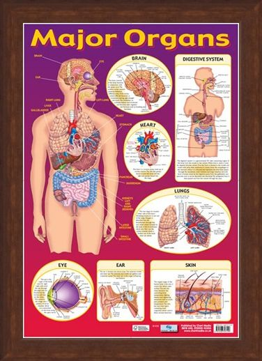 Framed Framed Find Your Way Around the Human Body! - Major Organs of The Body