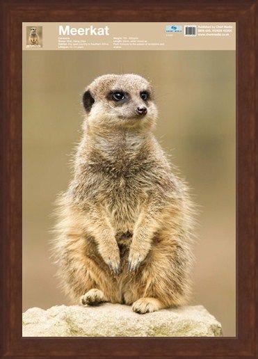 Framed Framed Animal World - The Meerkat
