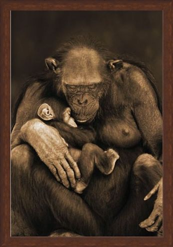 Framed Framed Motherhood - Chimpanzee with Child