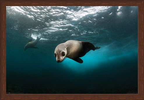 Framed Framed Diving The Depths - Australian Fur Seal