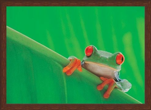 Framed Framed Red Eyed Frog - Nature