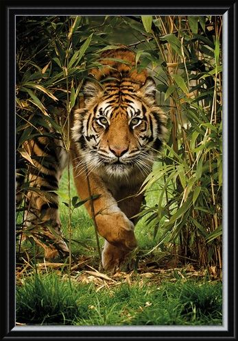 Framed Framed King Of The Jungle - Bamboo Tiger