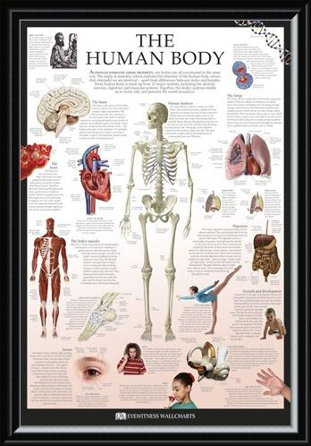 Framed Framed The Human Body - Dorling Kindersley