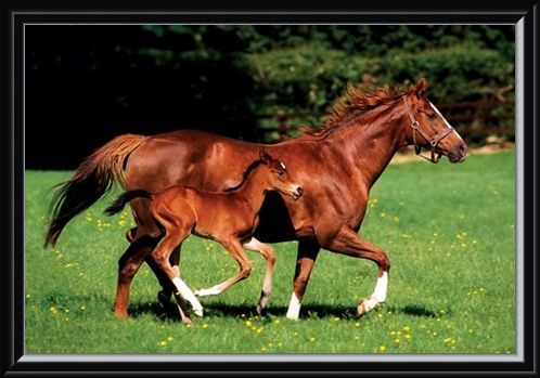 Framed Framed Chestnut Mare and Foal - The Beauty of Horses