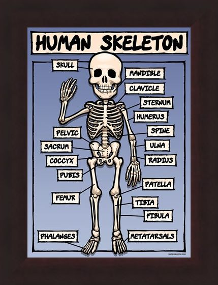 Framed Framed A boney but helpful hand - The Human Skeleton