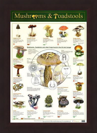 Framed Framed Mushrooms & Toadstools - Fungi