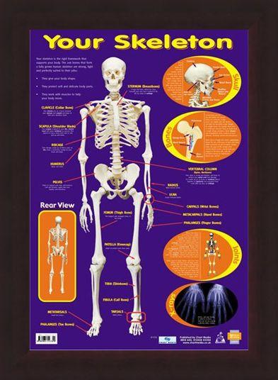 Framed Framed Your Skeleton - 206 Bones In The Body