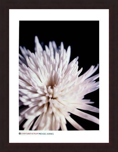 Framed Framed Chrysanthemum - Michael Banks