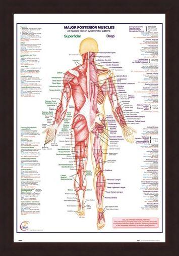 Framed Framed Major Posterior Muscles - Human Body