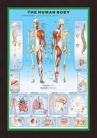 The Human Body and it\'s Organs, Human Biology Poster - Buy Online