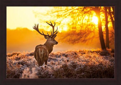 Framed Framed Golden Stag - Wildlife Wonders of The Sunrise