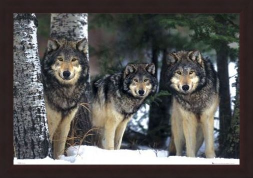 Framed Framed Three Wolves in the Snow - Canis Lupis – The Timberwolf