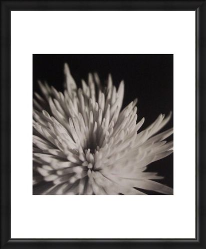 Framed Framed Chrysanthemum - Michael Banks