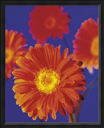 Framed Framed Red Flowers - Gerberas
