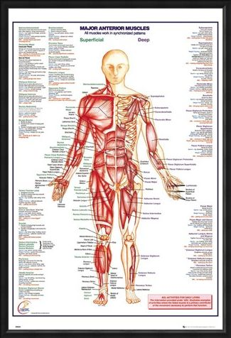 Framed Framed Major Anterior Muscles - Human Body