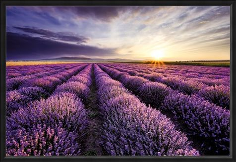 Framed Framed Lavendar Field - Purple Sunset
