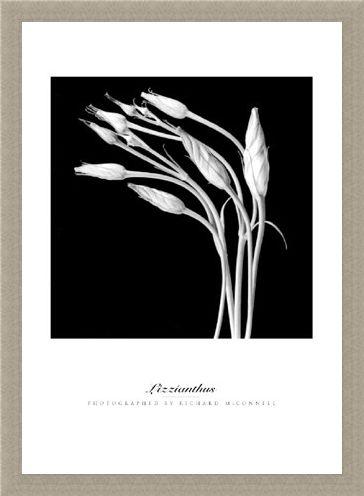 Framed Framed Lizzianthus - Richard McConnell