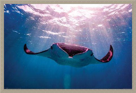 Framed Framed Manta Ray - Animal Photography